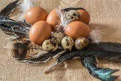 鸡和鹌鹑蛋在羽毛 库存照片