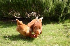 鸡哺养 免版税库存照片