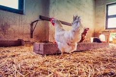 鸡在一个传统农场 免版税图库摄影