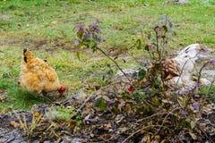 鸡在一个木房子的围场湖的 图库摄影
