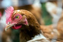 鸡在农场 图库摄影
