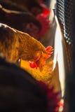 鸡在农场 免版税库存照片