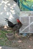 鸡在农场 免版税库存图片
