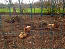 鸡在农场 库存图片