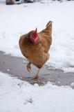 鸡在冬天 免版税库存图片