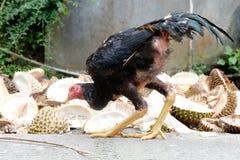 鸡在围场在乡下 库存图片