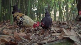 鸡在干燥叶子中的一个竹树丛里吃草 股票录像