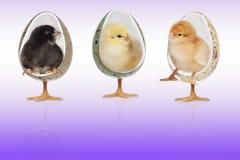 鸡在椅子棕色背景中 免版税库存图片