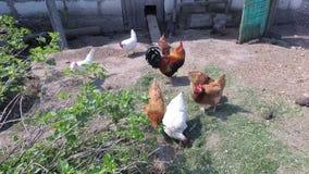 鸡在笔进来 国家鸡舍 影视素材