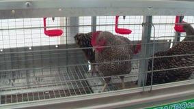 养鸡场或鸡窝 母鸡Amroks 影视素材
