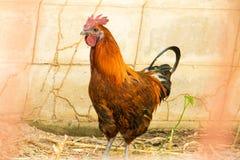 黑养鸡场 库存图片