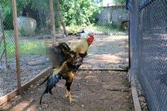 鸡好斗的公鸡 库存照片
