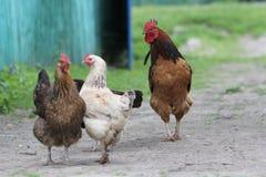 鸡家庭在农场 免版税库存图片