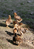 鸡家庭 免版税库存图片