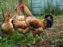 鸡家庭  库存图片