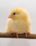鸡小的黄色 免版税库存照片