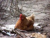 鸡嵌套 免版税图库摄影