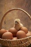 鸡年轻人 免版税库存图片