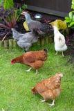 鸡庭院 免版税库存图片