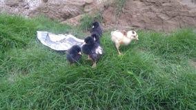 鸡开会 库存照片