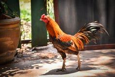 鸡当地人泰国 免版税库存图片