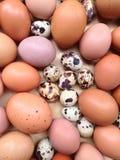 鸡怂恿鹌鹑 库存图片