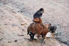 鸡或母鸡 免版税图库摄影