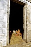 鸡抓住太阳光通过门道入口 库存图片