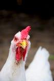 鸡接近的白色 免版税库存照片