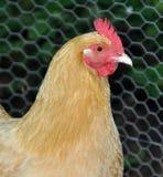 鸡接近  库存图片