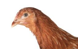 鸡放置母鸡 图库摄影