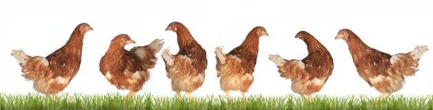 鸡放置母鸡 库存图片