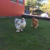 鸡母鸡草 库存图片