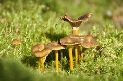 鸡油菌属tubaeformis 免版税库存照片