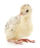 鸡火鸡 免版税库存图片