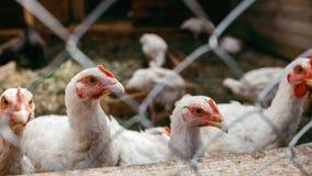 鸡烤焙用具 家禽场 图库摄影