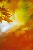 鸡爪枫叶子在五颜六色的秋天 库存照片