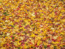 鸡爪枫叶子在秋天 免版税库存图片