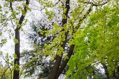 鸡爪枫和樱桃树在新宿Gyoen,东京,日本在春天 免版税图库摄影