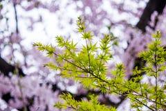 鸡爪枫和樱桃树在Chidorigafuchi走道,千代田,东京,日本 库存图片