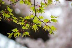 鸡爪枫和樱桃树在Chidorigafuchi走道,千代田,东京,日本 免版税库存照片