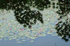 鸡爪枫和莲花在水池 免版税库存照片