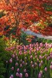 鸡爪枫和郁金香 库存图片