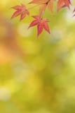 鸡爪枫树在秋天把五颜六色的背景留在 免版税库存图片
