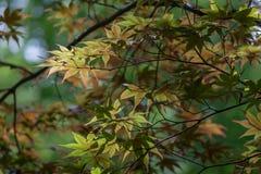 鸡爪枫树多彩多姿的叶子  免版税库存照片