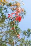鸡爪枫树淡色fole在秋天把五颜六色的背景留在 图库摄影