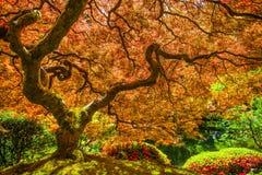鸡爪枫红色结构树 库存照片