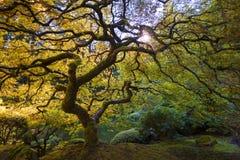 鸡爪枫结构树 免版税库存照片