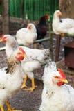 鸡白色 免版税库存照片
