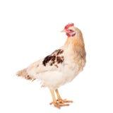 鸡白色 库存照片